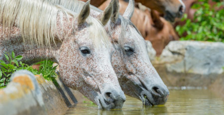 horses drinking water